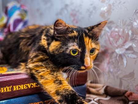 tricoloured: beautiful tricoloured young cat posing, home animal Stock Photo