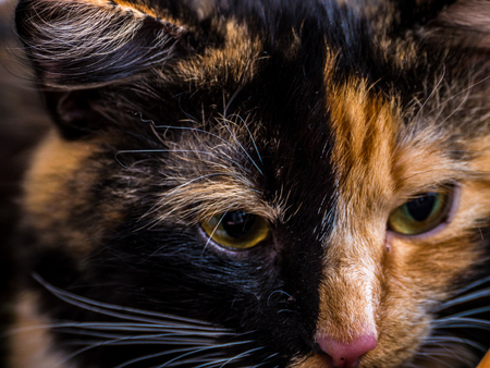 calico whiskers: small tri-color cat in the basket posing