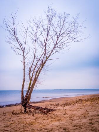 lonley: Lonley tree in the beach in autumn Stock Photo