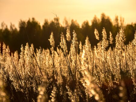 contra: Golden Sunset and reed grass in contra.