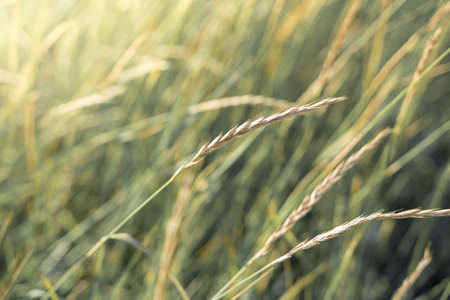 Meadow grass with Golden spikelets in the sun in soft toning.