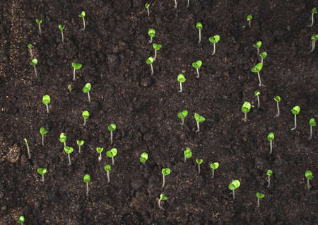 The process of plant germination in the soil. Green Basil sprouts. Side view. The concept of organic backgrounds. Imagens