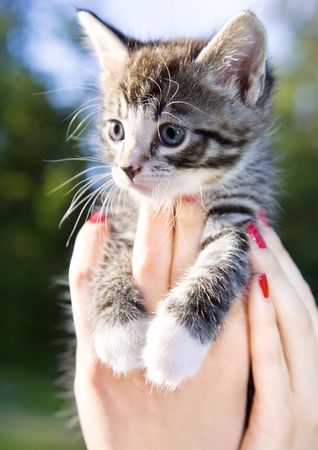 closeup picture of female hands holding little kitty Stock Photo