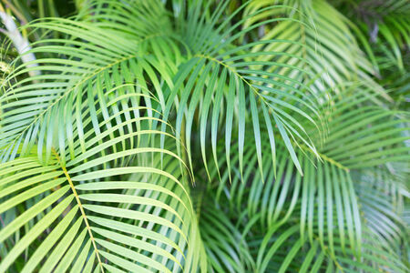frond: nature and background concept - close-up of palm tree leaves