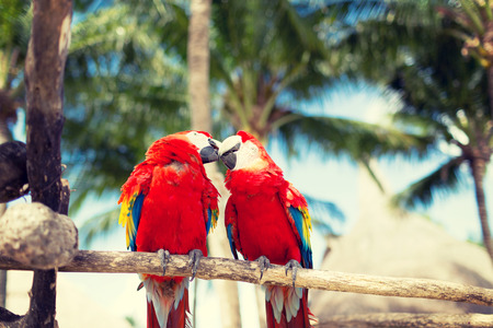 nature and animals concept - couple of red parrots sitting on perch