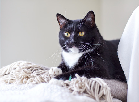 domestic: pets, domestic animals and comfort concept - black and white cat lying on plaid at home
