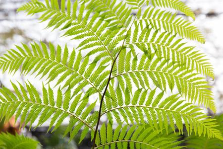 botanika: botanika, příroda, biologie a flóra koncepce - zelené kapradí vějířovitý