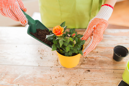 home garden: people gardening flower planting and profession concept  close up of woman or gardener hands planting roses to flower pot at home Stock Photo