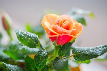 floristics: gardening planting floristics and flora concept  close up of rose flower