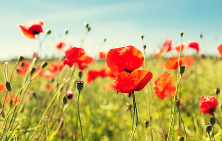 happiness nature summer and vacation concept  blooming poppy field Standard-Bild