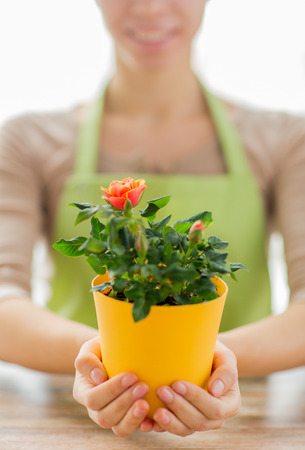 mujer con rosas: personas, jardinería, flores y concepto profesión - Cerca de la mujer tomados de la mano arbusto de rosas en maceta en casa Foto de archivo