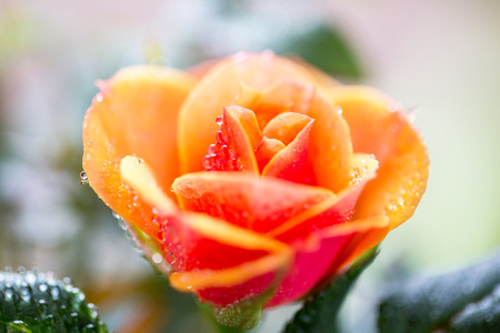 floristics: gardening, planting, floristics and flora concept - close up of rose flower