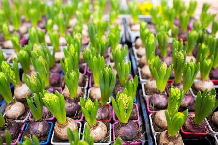 flower bulb: gardening, planting and flora concept - close up of hyacinths seedlings at greenhouse