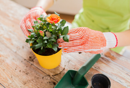woman gardening: people, gardening, flower planting and profession concept - close up of woman or gardener hands planting roses to flower pot at home Stock Photo