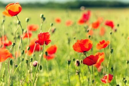 poppy: la felicidad, la naturaleza, el verano y el concepto de vacaciones - campo floreciente de la amapola