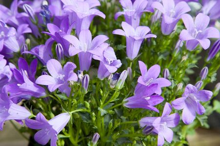 botany: gardening, botany and flora concept - beautiful bellflowers at summer garden