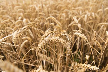 cereales: la agricultura, la agricultura, cereales, cultivo de la tierra y el concepto de textura - campo de la maduración espigas de trigo o de centeno espigas Foto de archivo