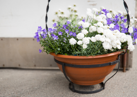 flower pot: gardening, flowers, decoration and flora concept - beautiful bellflowers and chrysanthemums in pot outdoors Stock Photo