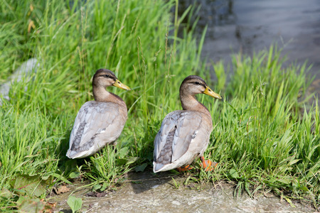 two ducks: nature, ornithology and birds concept - two ducks on river bank