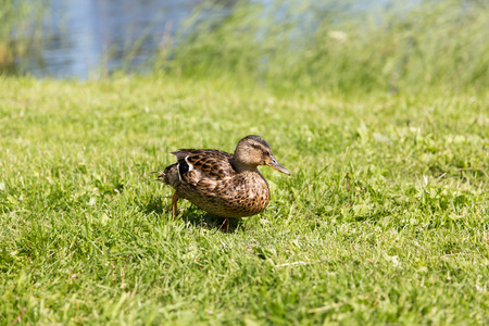 the ornithology: nature, ornithology and birds concept - duck walking on green summer meadow