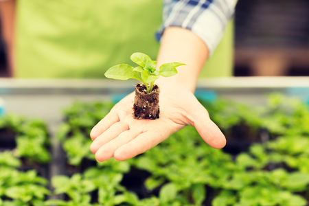 people, gardening, planting and profession concept - close up of woman hand holding seedling sprout at greenhouse Stock Photo