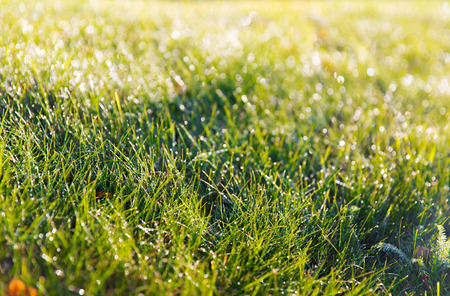 green environment: nature, season and environment concept - close up of green grass with dew