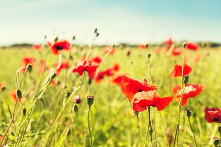 happiness, nature, summer and vacation concept - blooming poppy field Stock Photo