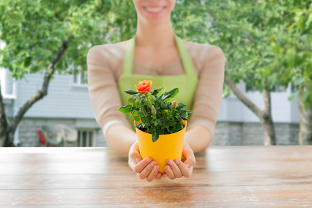 people, gardening and flowers concept - close up of woman hands holding roses bush in flower pot at over summer house background