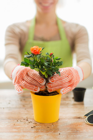 pot: people, gardening, flower planting and profession concept - close up of woman or gardener hands planting roses to flower pot at home Stock Photo