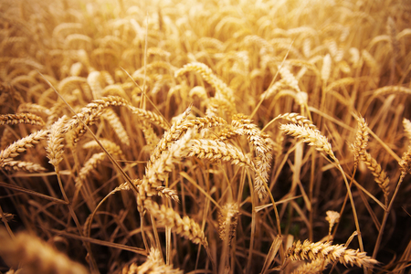 rye: agriculture, farming, cereal , land cultivation and texture concept - field of ripening wheat ears or rye spikes
