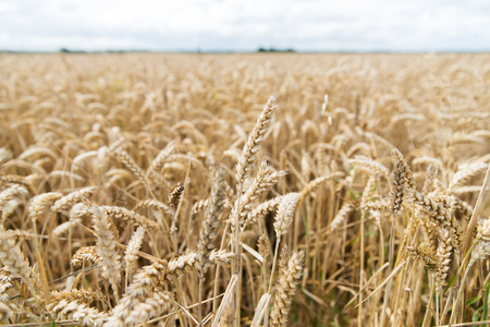 ripening: agriculture, farming, cereal and land cultivation concept - field of ripening wheat ears or rye spikes