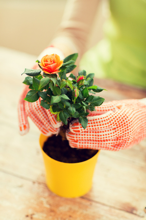 people, gardening, flower planting and profession concept - close up of woman or gardener hands planting roses to flower pot at home Stock Photo
