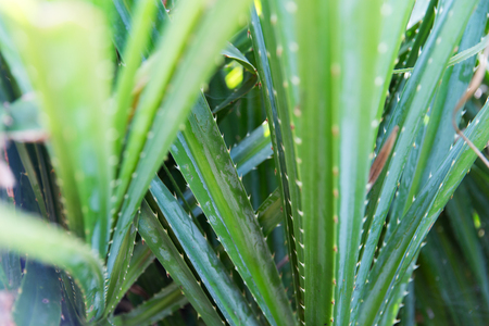 botany, nature, biology, eco and flora concept - close up of green exotic plant outdoors