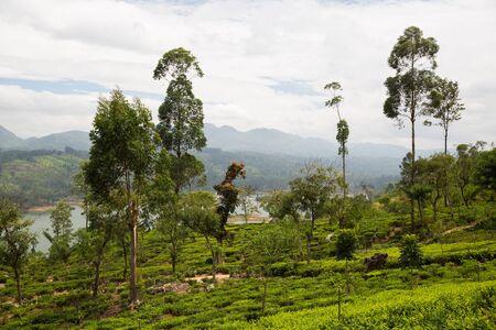 agriculture sri lanka: agriculture, farming and nature concept - tea plantation field on Sri Lanka