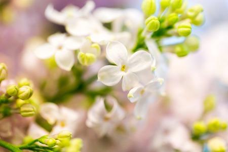 floral objects: gardening, flowers, floristry, nature and flora concept - close up of beautiful lilac Stock Photo