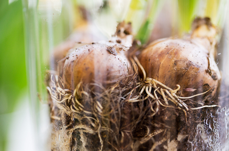 floristry: gardening, flowers, floristry, nature and flora concept - close up of flower bulb or onion