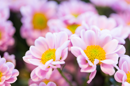 floristry: gardening, flowers, floristry, holidays and flora concept - close up of beautiful pink chrysanthemums