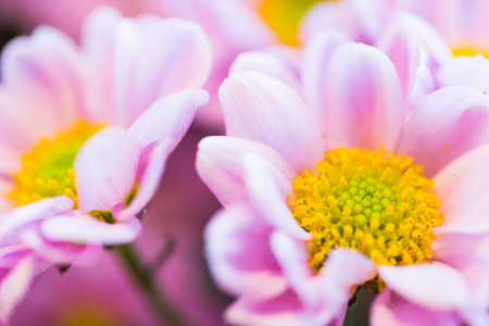 floral objects: gardening, flowers, floristry, holidays and flora concept - close up of beautiful pink chrysanthemums