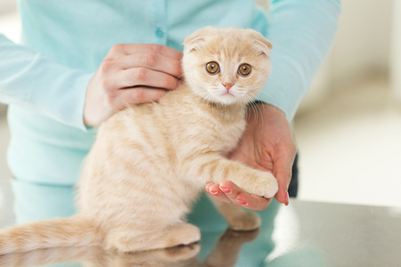 animal body part: pets, animals and cats concept - close up of scottish fold kitten and woman