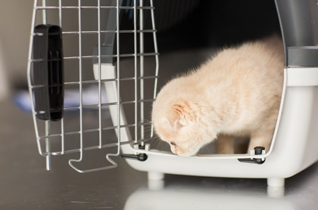 pets, animals and cats concept - close up of scottish fold kitten inside cat carrier box Imagens