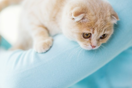 animal body part: pets, animals and cats concept - close up of scottish fold kitten in owner hands Stock Photo