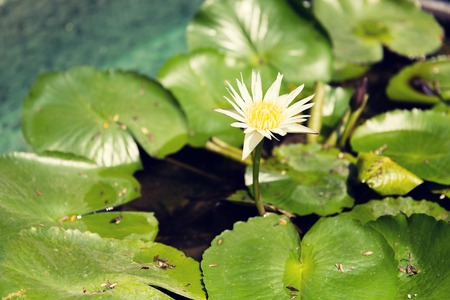 backwater: nature, flora and biology concept - white water lily in pond Stock Photo