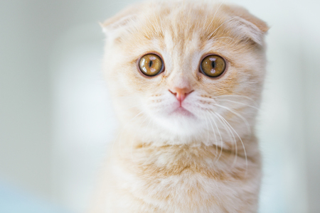 pets, animals and cats concept - close up of scottish fold kitten Stock Photo