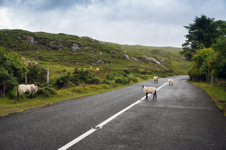 travel and countryside concept - sheep grazing on asphalt road at connemara in ireland Reklamní fotografie