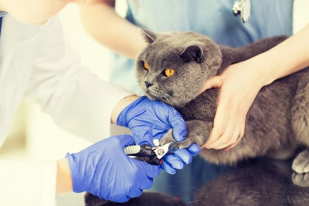 cat grooming: medicine, pet, animals, grooming and people concept - close up of veterinarian doctor with clipper cutting british cat nail at vet clinic