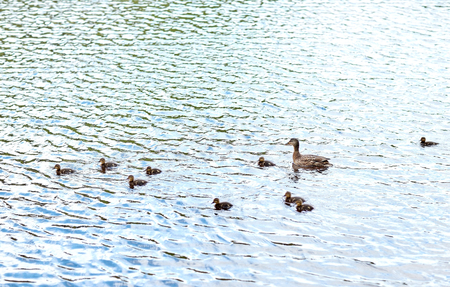 the ornithology: birds, ornithology, wildlife and nature concept - duck with ducklings swimming in lake or river