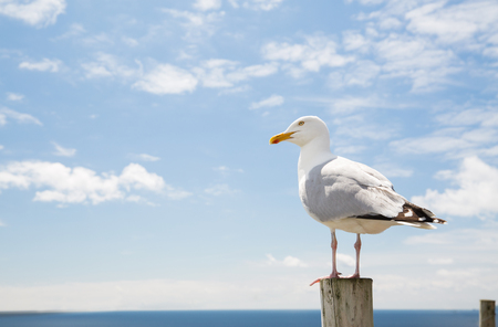 copies: birds and wildlife concept - seagull on wooden post over sea blue sky landscape Stock Photo
