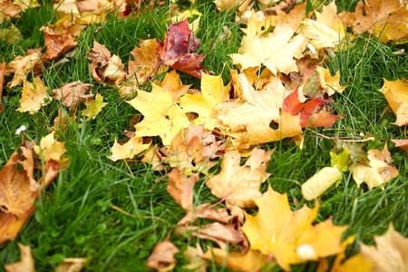 green environment: season, nature and environment concept - fallen autumn maple leaves on green grass