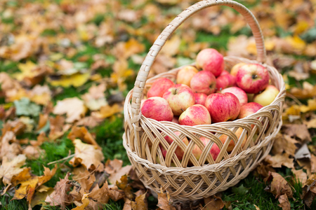 farming, gardening, harvesting and people concept - wicker basket of ripe red apples at autumn garden