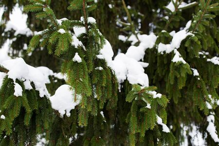 pascuas navideÑas: season, nature and christmas concept - fir branch and snow in winter forest